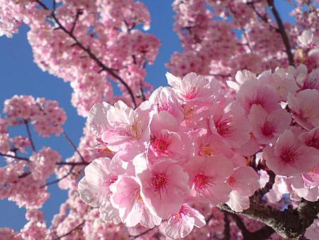 Las sakura, vistas de cerca